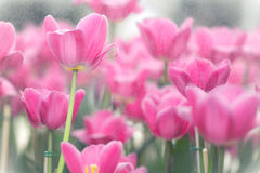 Blooming pink tulips Stock Photos