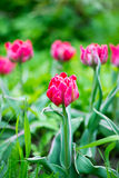 Blooming pink tulips Stock Photo
