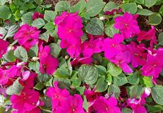 Blooming pink Vinca Flowers in the garden ,Useful for backg. Blooming pink Vinca Flowers in the garden ,Conceptual image for gardening or season. Useful for Stock Photography