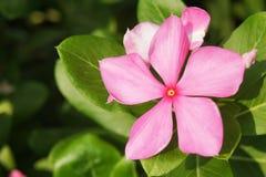 Blooming pink vinca Royalty Free Stock Photo