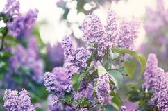 Blooming pink violet lilac bush at spring time with sunlight. Blossoming purple and violet lilac flowers. Spring season, nature. Background stock photos