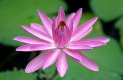 Blooming Pink Water Lily Flower Stock Photo