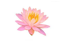 Blooming pink water lily flowers or lotus flower isolated on white background with clipping path Stock Images