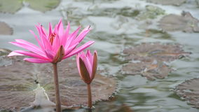 Blooming pink water lily stock video footage