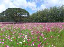 Blooming Pink and White Cosmos Field with the Big Trees under the Sunny Sky. Thailand Royalty Free Stock Image