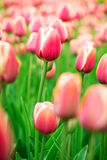 Blooming pink and white Dutch tulips, closeup Royalty Free Stock Photo