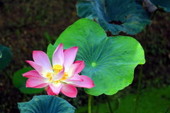 Blooming pink and white lotus  water lily Stock Photo