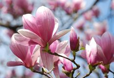 Magnolia blooming with large pink white flowers royalty free stock photography