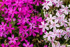 Blooming Pink and White Phlox Flowers Stock Photo
