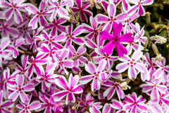 Blooming Pink and White Phlox Flowers Stock Image