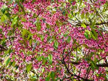 Blooming pink Wild Himalayan Cherry flower Royalty Free Stock Image