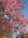 Blooming pink Wild Himalayan Cherry flowers under blue sky Stock Photos