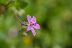 Blooming pink wildflower in forest spring background. Royalty Free Stock Photos