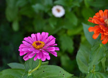 Blooming Pink Zinnia Flower (Zinnia elegans). Royalty Free Stock Images