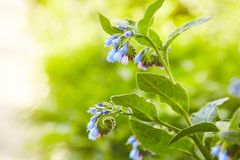 Blooming plant comfrey Symphytum officinale. stock images