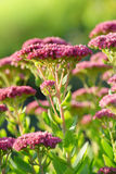 Blooming plant Sedum prominent Royalty Free Stock Images
