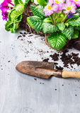 Blooming plant with soil and root Royalty Free Stock Photography
