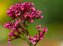 Blooming Red Valerian flower and close up photography.. Red Valerian flower and close up photography. Macro photo of a Red Valerian flowers with shallow depth Royalty Free Stock Image