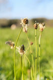 Blooming plantago in nature Royalty Free Stock Photography