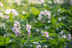 Blooming plantation of potato Royalty Free Stock Photos