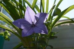 Blooming Platycodon grandiflorus in small garden on the balcony. Beautiful violet balloon flower.  stock photo