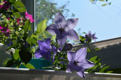 Blooming platycodon grandiflorus in summer. Beautiful flowers grow in container in small urban garden on the balcony.  stock image