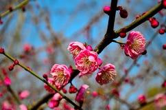 Blooming plum. Red Blooming plum in spring Royalty Free Stock Image