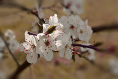Blooming plum. Alice, Spring in Latvia Stock Image