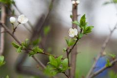 Blooming plum Stock Photo