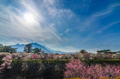 Blooming of Plum blossoms in shimabara castle Stock Image