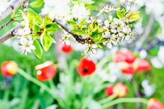 Blooming plum branch on a background of red tulips Royalty Free Stock Photography