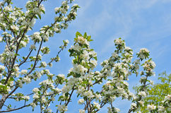 Blooming plum 10 Royalty Free Stock Images
