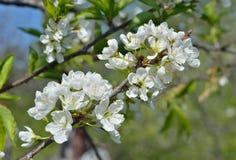 Blooming plum 12 Royalty Free Stock Photos
