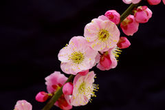 Blooming plum Royalty Free Stock Photography