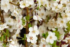 Blooming plum flowers background stock image