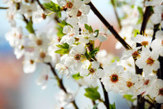 Blooming plum flowers background Stock Photography