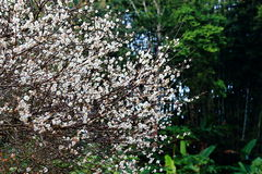 Blooming Plum Flowers On Branch Royalty Free Stock Photo
