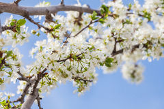 Blooming plum flowers branch Stock Photos