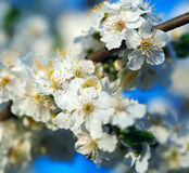 Blooming plum, sunny spring morning.  stock photography