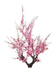 Blooming plum tree Stock Image
