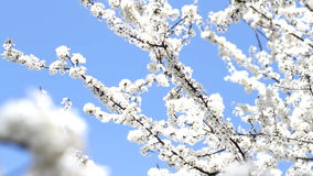 Blooming Plum Tree stock footage