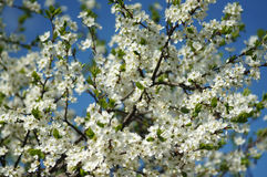 Blooming plum tree against the blue sky Royalty Free Stock Photography