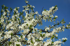 Blooming plum tree against the blue sky Stock Photography