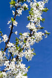Blooming  plum Stock Images