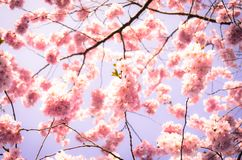 Blooming plum tree. On blue sky royalty free stock image