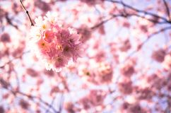 Blooming plum tree Royalty Free Stock Photos