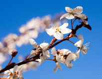 Blooming plum Royalty Free Stock Photos