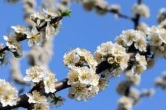 Blooming plum tree branch Stock Photo