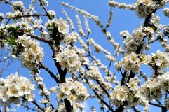 Blooming plum tree branch Royalty Free Stock Photography