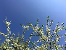 Blooming plum-tree branch covered with white flowers on blue bright sky background. Plum tree closeup. Spring white stock photography